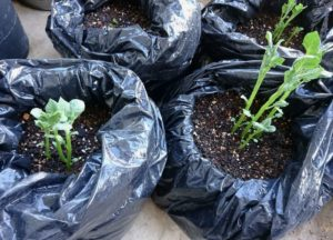 ゴミ袋でジャガイモ作り