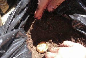 ジャガイモ種の植えつけ