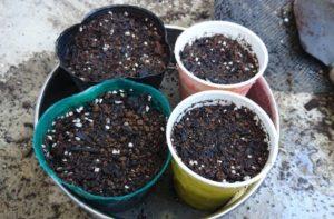 胡瓜の種蒔き